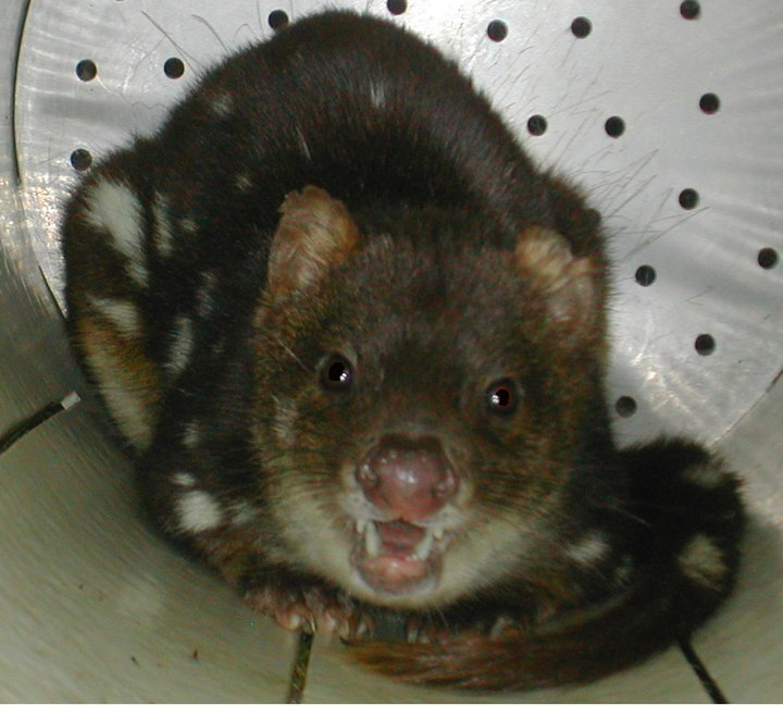 A spotted-tailed quoll in a trap awaits processing and release.