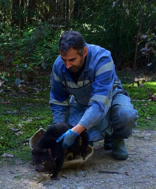 Researcher Jean-François DuCroz releases a Tasmanian devil after data collection.