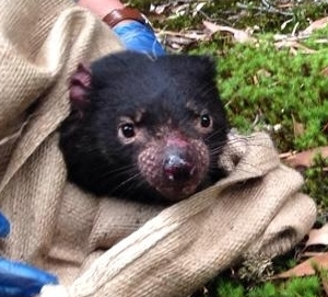 A young Tasmanian devil being released after data collection.