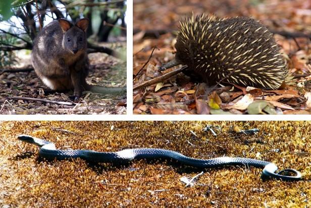 Top left:  Tasmanian pademelon.  Top right:  Short-beaked echidna.  Bottom:  Tiger snake.