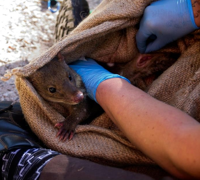 Checking the pouch of a female spotted-tailed quoll to assess her reproductive status.