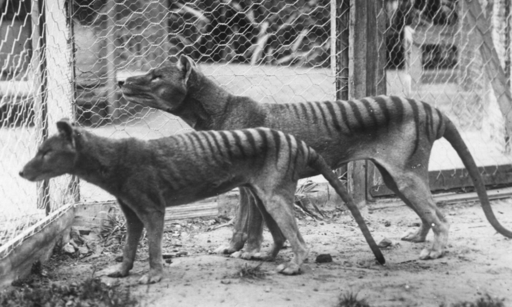 """The thylacine, or Tasmanian """"tiger"""", was a large marsupial carnivore driven to extinction in the early 20th century."""