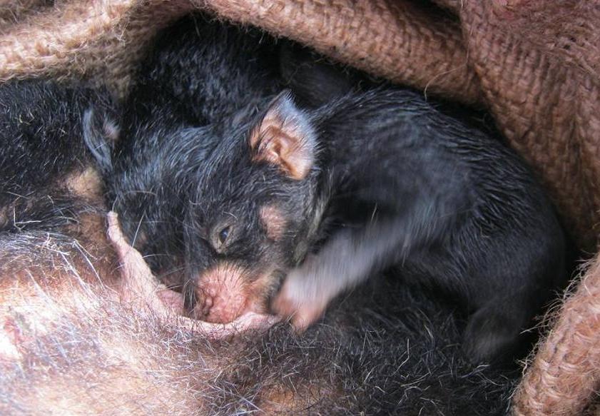 Tasmanian devil joeys nursing.