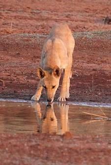 The dingo regulates kangaroo populations and puts pressure on invasive predators.