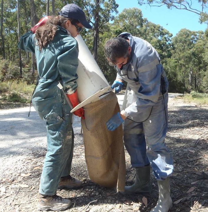 Volunteer field assistant Lucinda Aulsebrook assists researcher Jean-François DuCroz in transferring a devil from a trap to a burlap sack for processing.