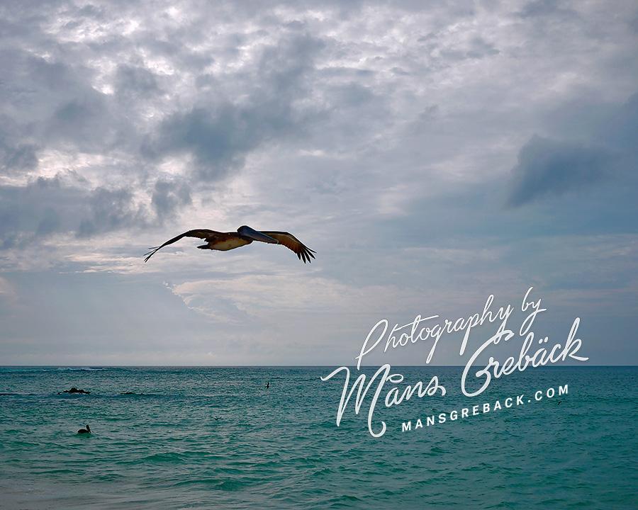 Pelican Ocean