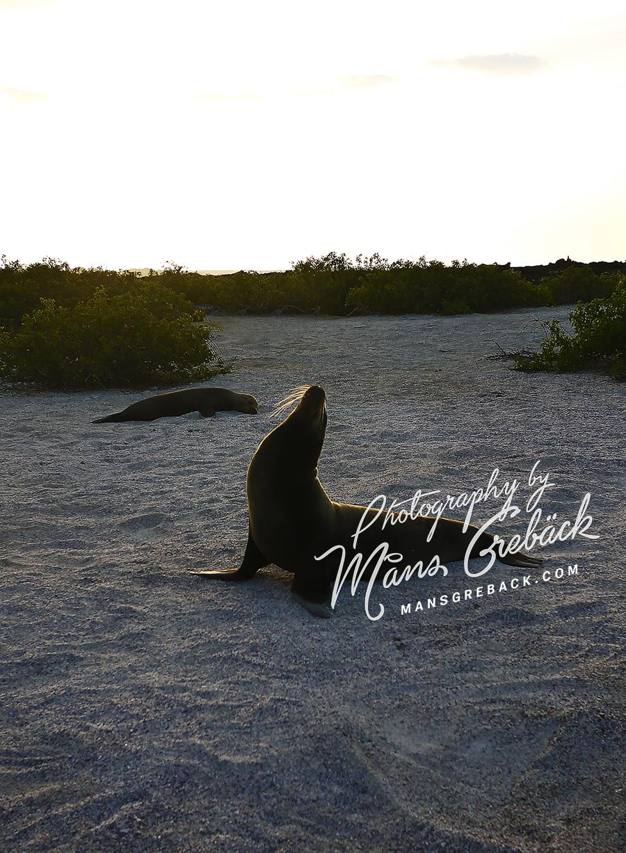 Proud Sea Lion