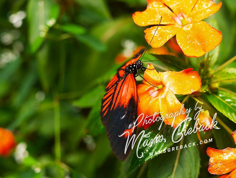 Orange Butterfly Flower