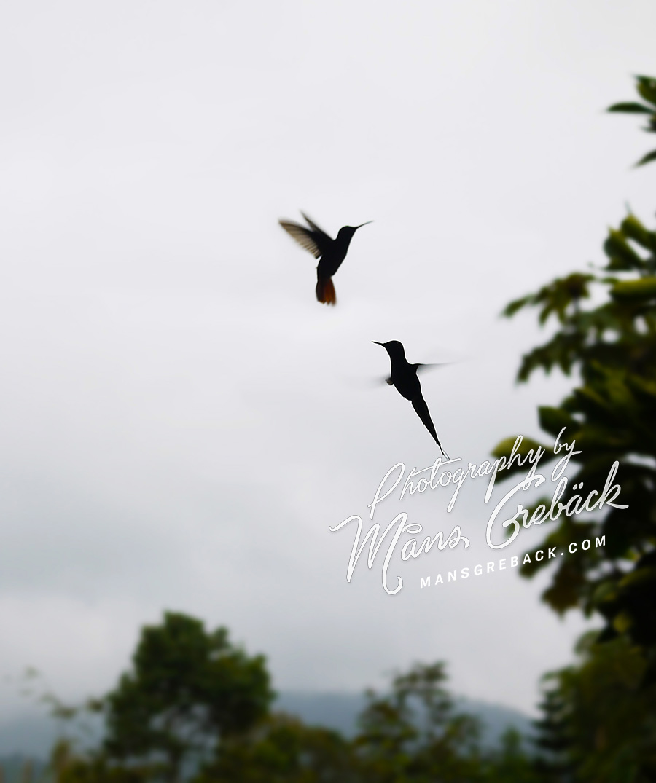 Hummingbirds Playing