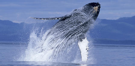 A humpback whale breaches in Alaska's Inside Passage. Copyright John Hyde/Pacific Stock