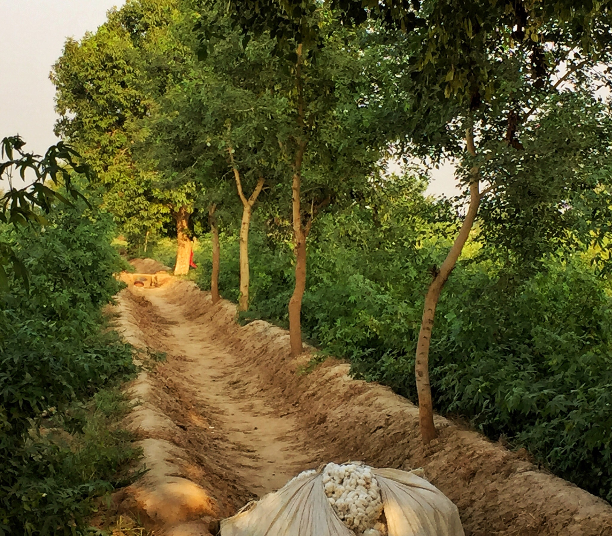 Sheesham trees grow on the banks between fields. These trees, planted as part of TFT's project with MdM and Indian farmers, are just just over two years old