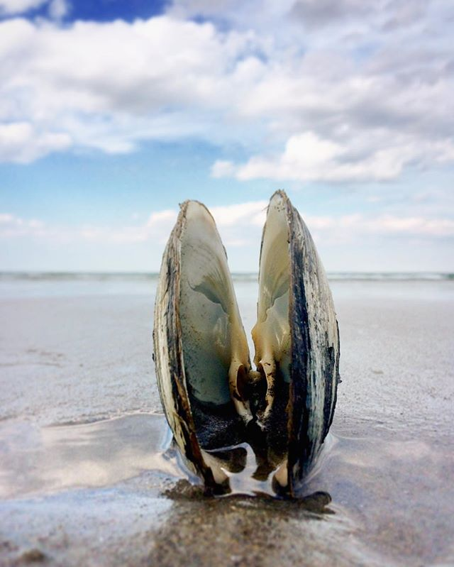 Natures perfect placement.  #nantasketbeach #huffpostgram #pictureoftheday #igboston #igers #igersboston #beach #beachlife #travelblogger #kinfolk #ocean #clam #creatingthedream #shell #southshorema #ignewengland #newengland #liveauthentic #iphoneography