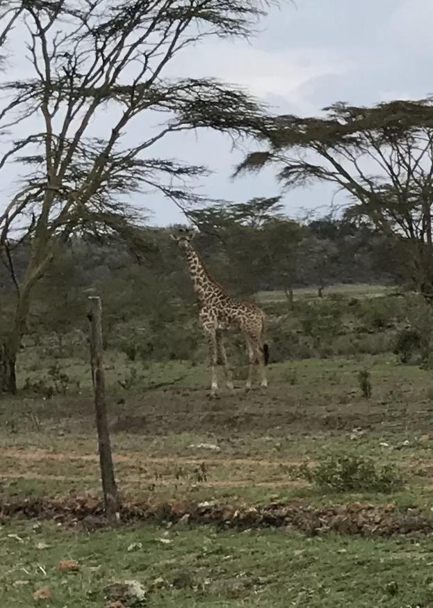 Day 16 giraffe.jpg