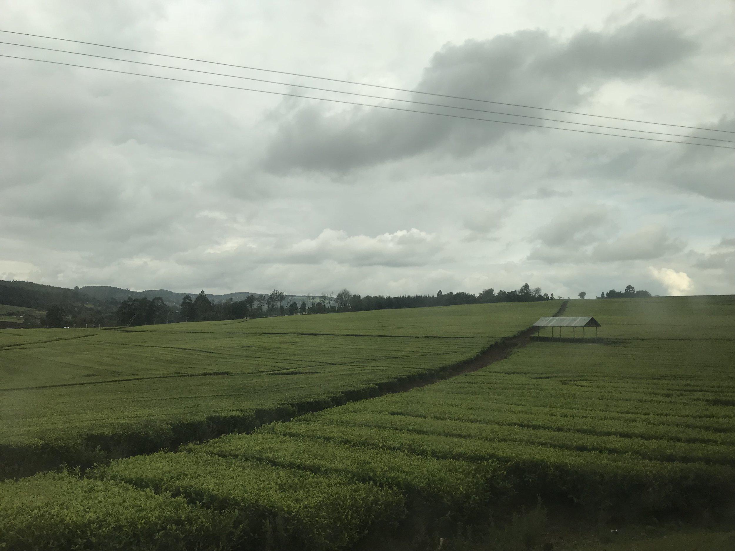 Day last tea field.jpg