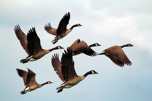 geese-1990202_640.jpg
