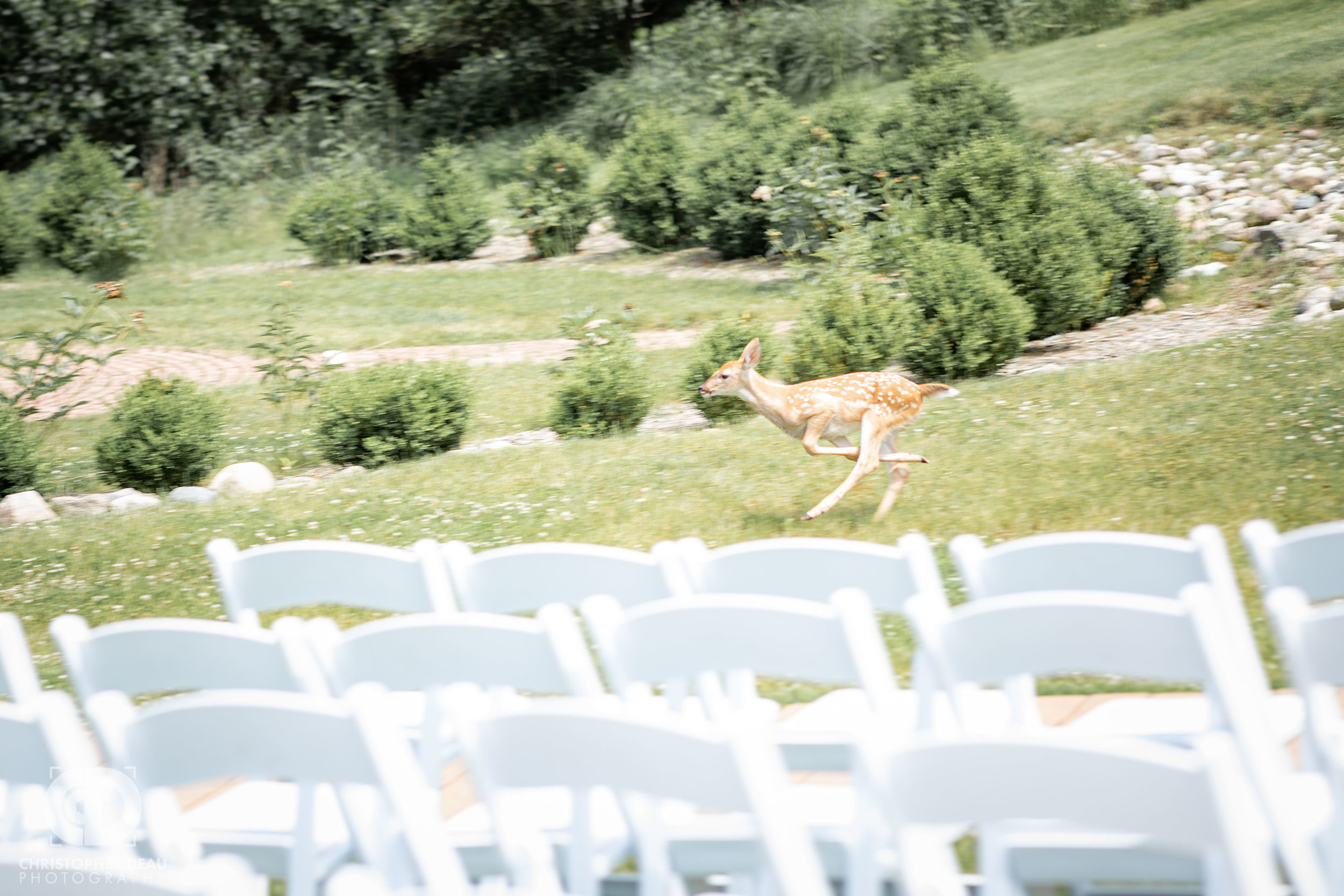 fawn running through wedding ceremony