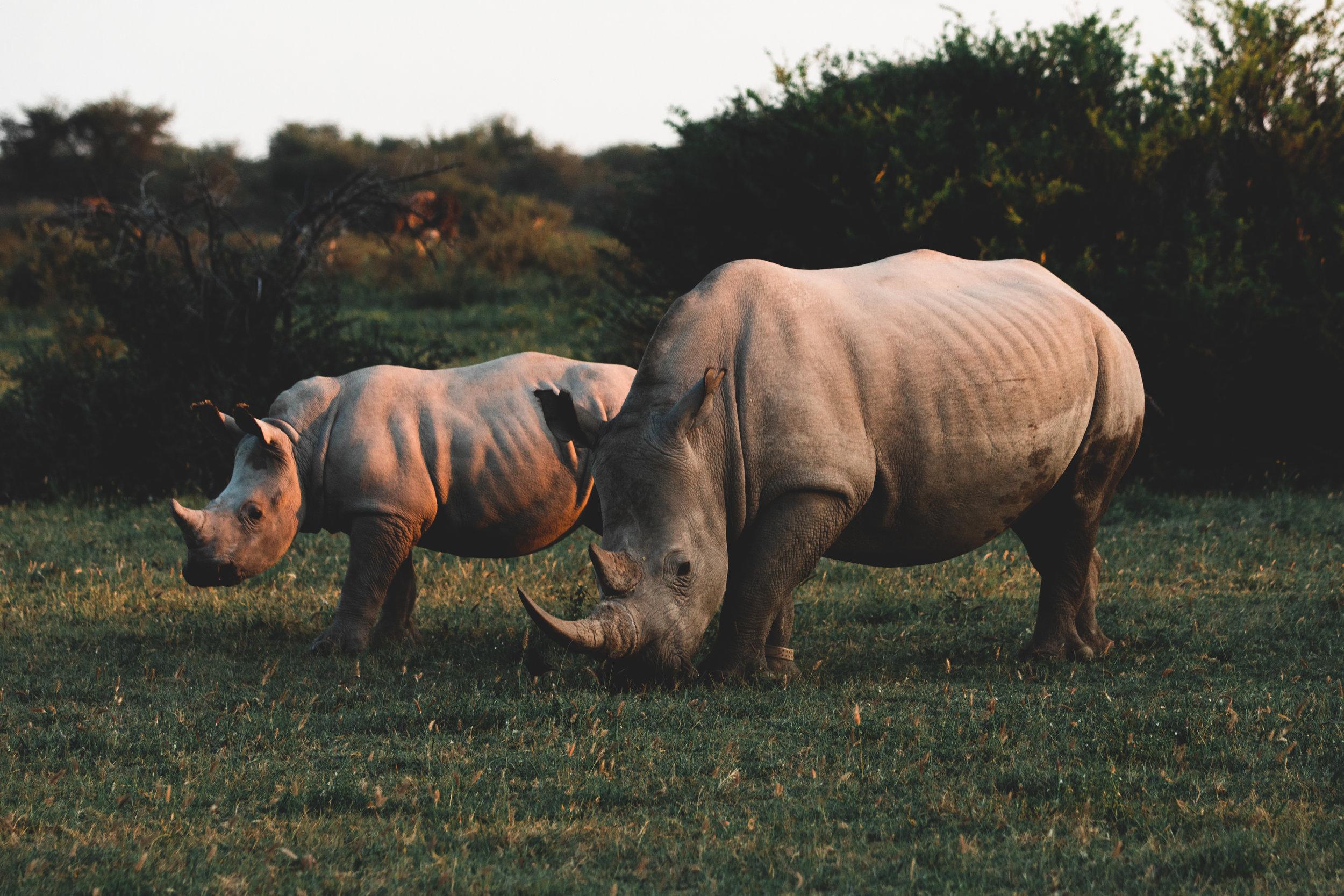 Two rhinos grazing at sunset in the Khama Rhino Sanctuary, Botswana.