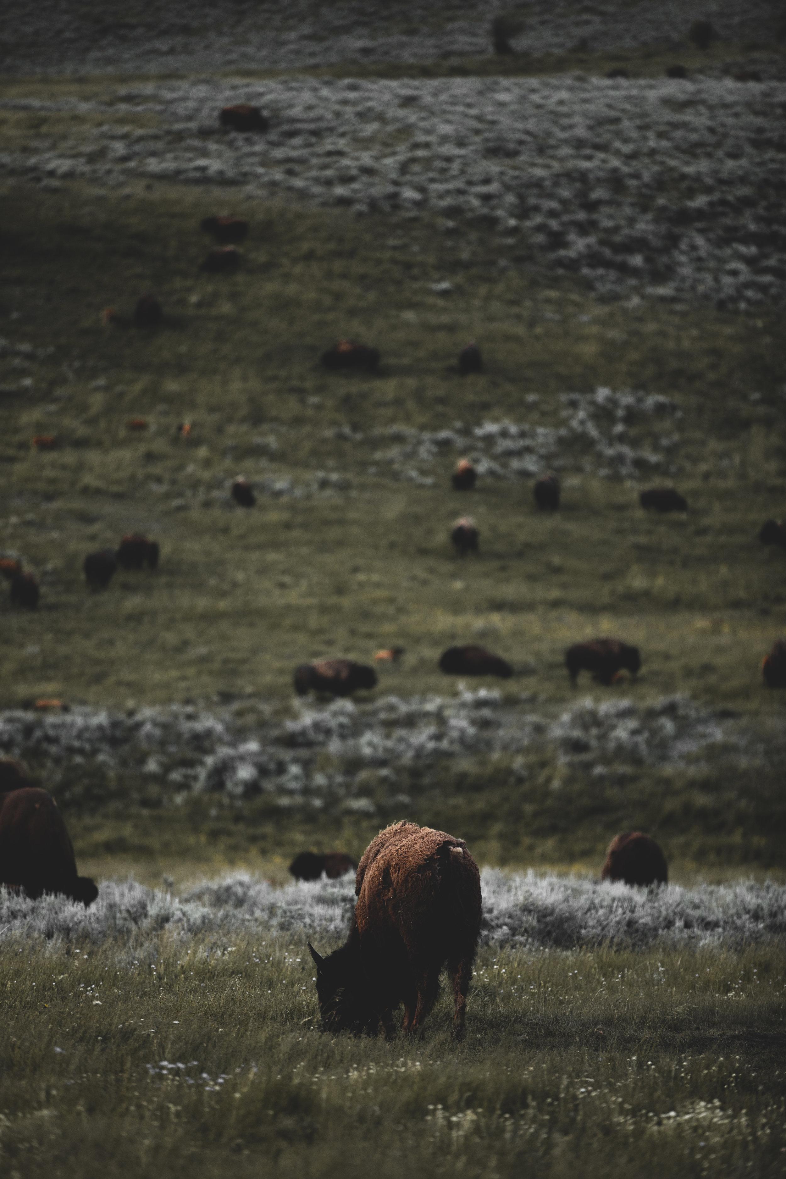 Herd of bison grazing in Lamar Valley.