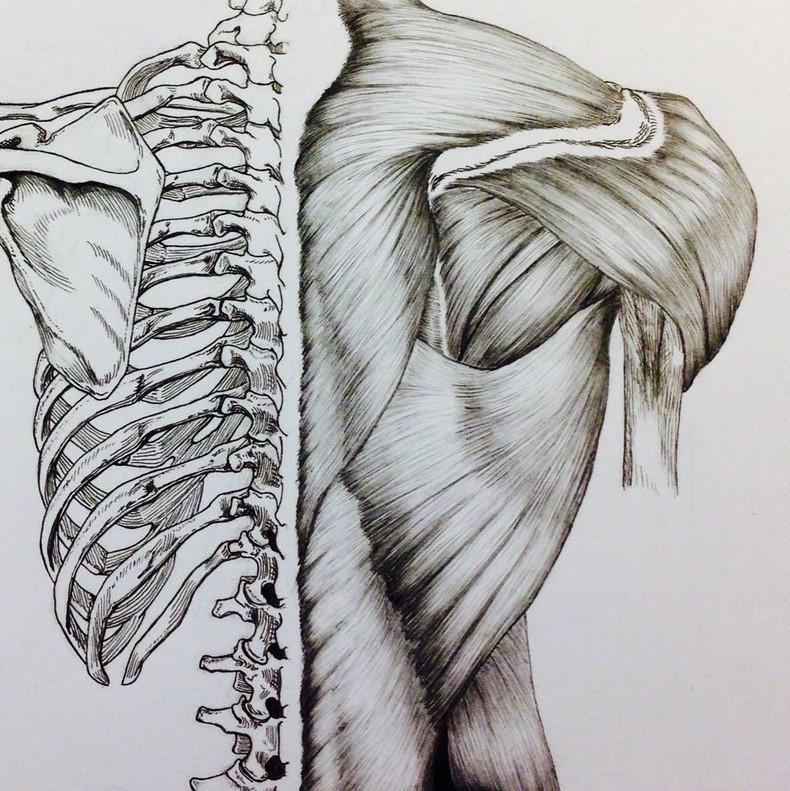 skull_to_pelvis_back_bones_muscles_by_billydoubleu-d8esj7m.jpg