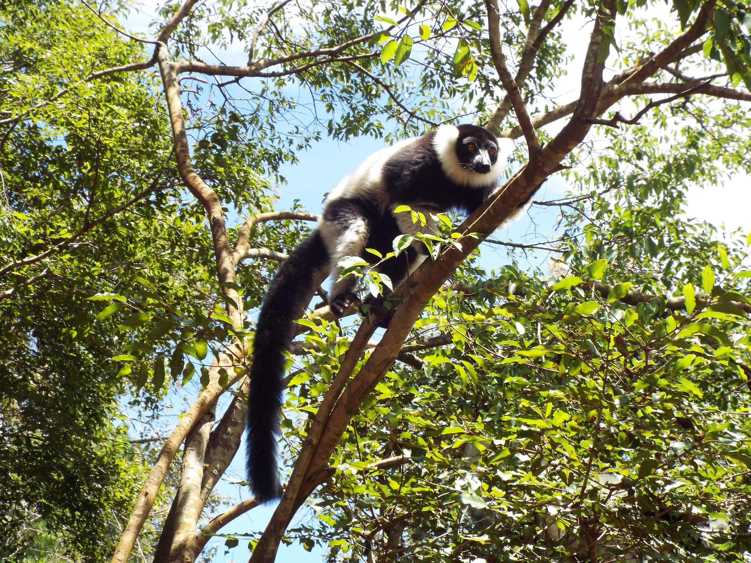 Black-and-white ruffled lemur