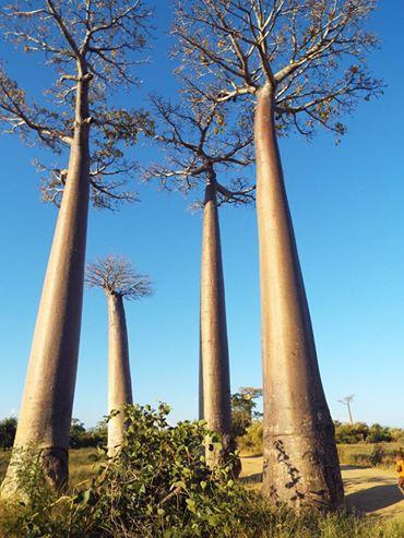 Otherworldly Baobabs