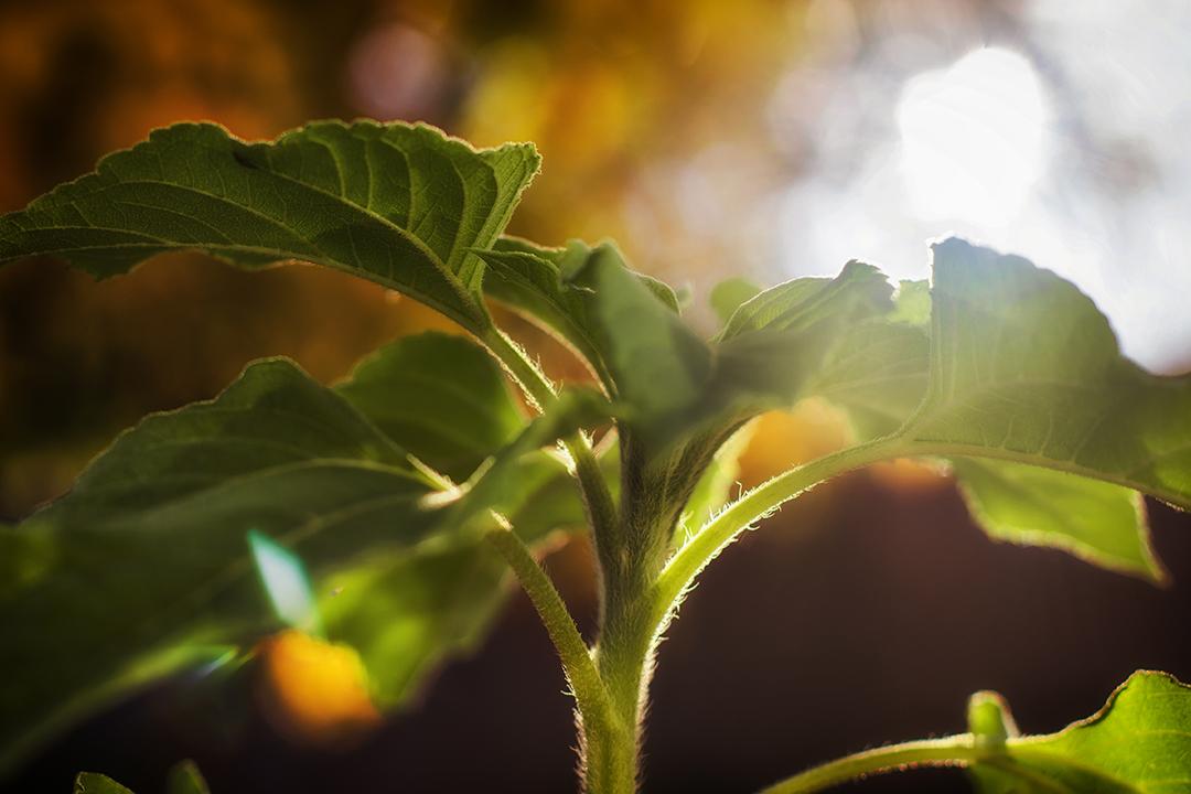 Sunflower reaching for the sun