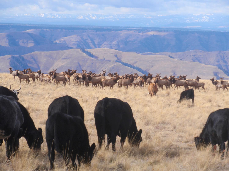 mountain-beef-grass-fed-beef-elk.JPG
