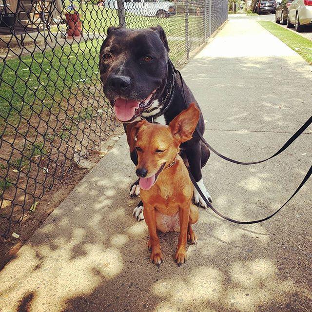 These two 😘  #TyTheRescuePittie #PennyTheMinPin #gooddogs #obedienceskillsarelifeskills #atraineddogisahappydog #caninelifeskills #bestbuds #pitbullsofinstagram #minpinstagram #my❤️