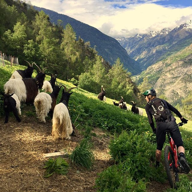 Goats🐐 and Guide 🚵🏼‍♀️ agree: stunning view outa here🤘🏼🤩 Valais/Wallis trails are ready for you - come ride with us! Thx for that blaster day! @severschd @sacha_robert @andyhaltair @jan.oggier  #valais #bikevalais #alpinebike #meinsommerimwallis #schwarzhalsgeiss #ridewithgoat