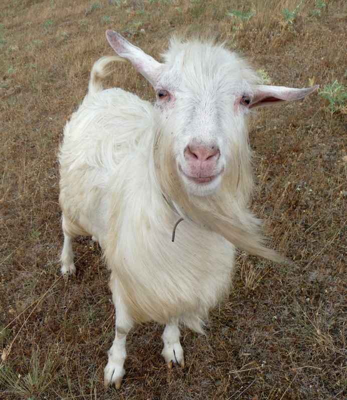 A normal goat, from an original photo by George Chernilevsky (http://commons.wikimedia.org/wiki/User:George_Chernilevsky)
