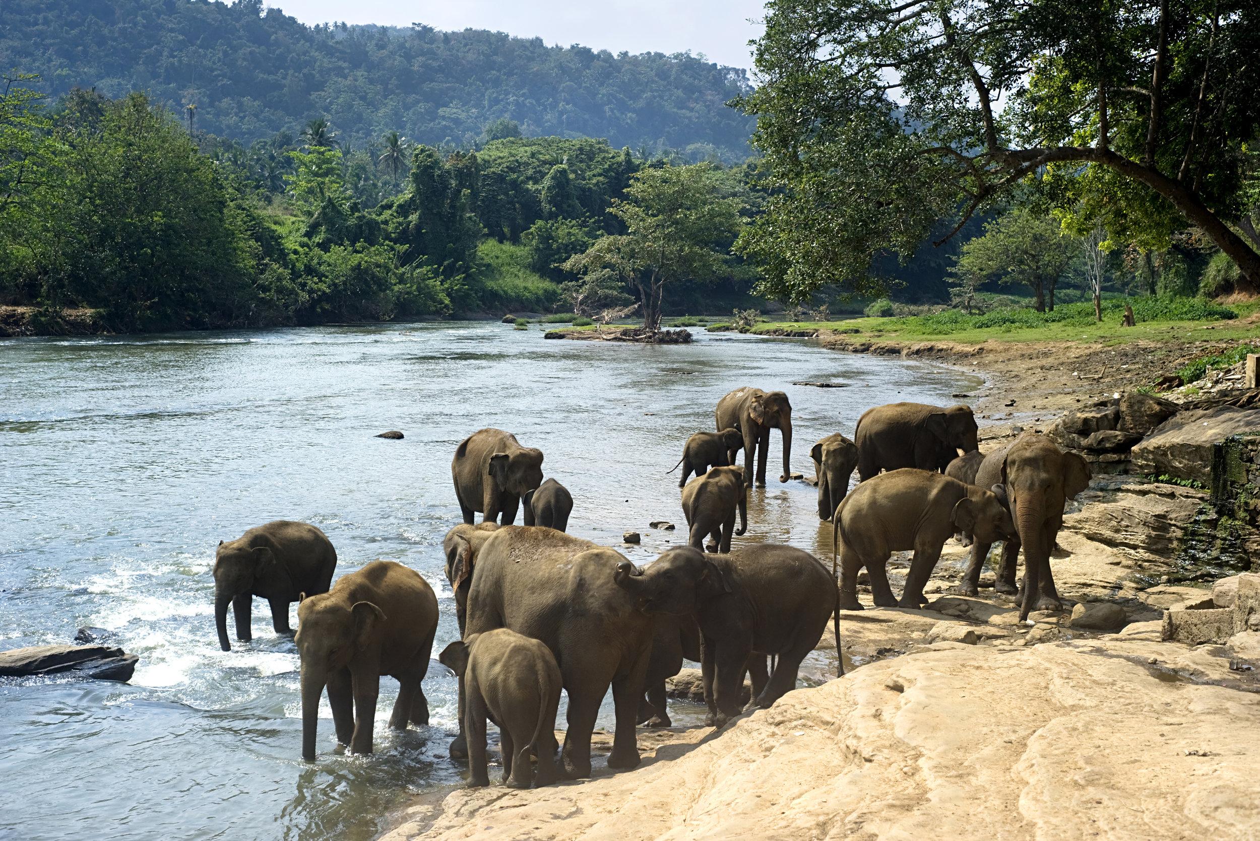 bigstock-india_Elephants-Bathing-23519015.jpg