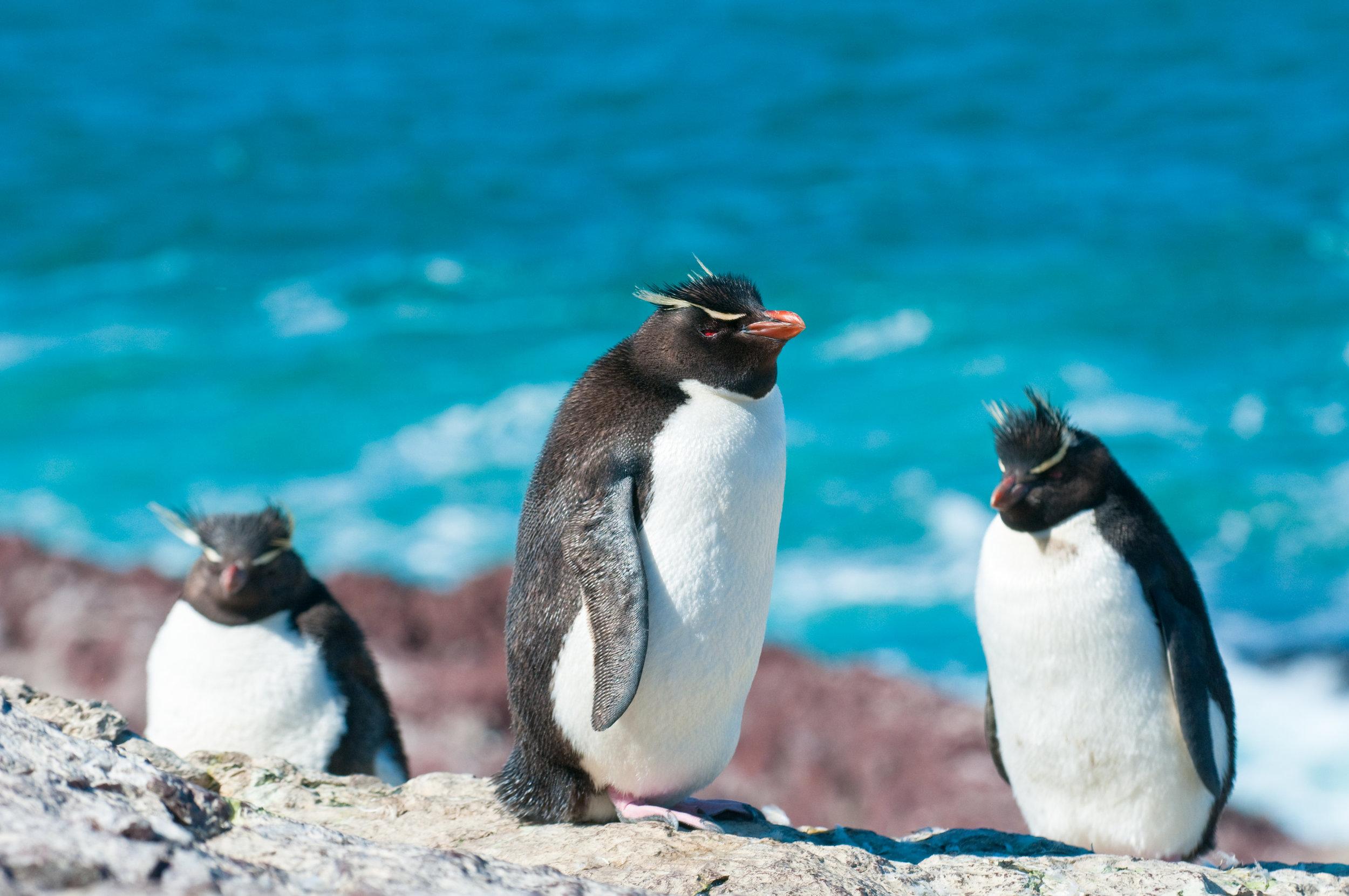 bigstock-argentina_Rockhopper-Penguins-7367488.jpg