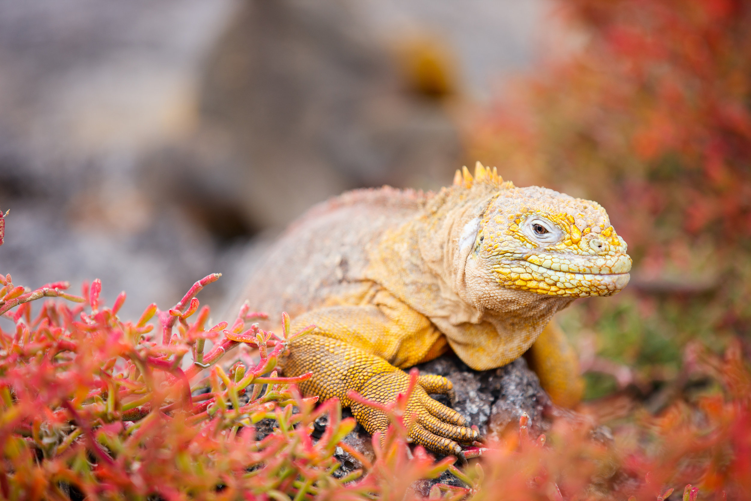 galapagos_bigstock-Land-iguana-endemic-to-the-Gal-41766295.jpg