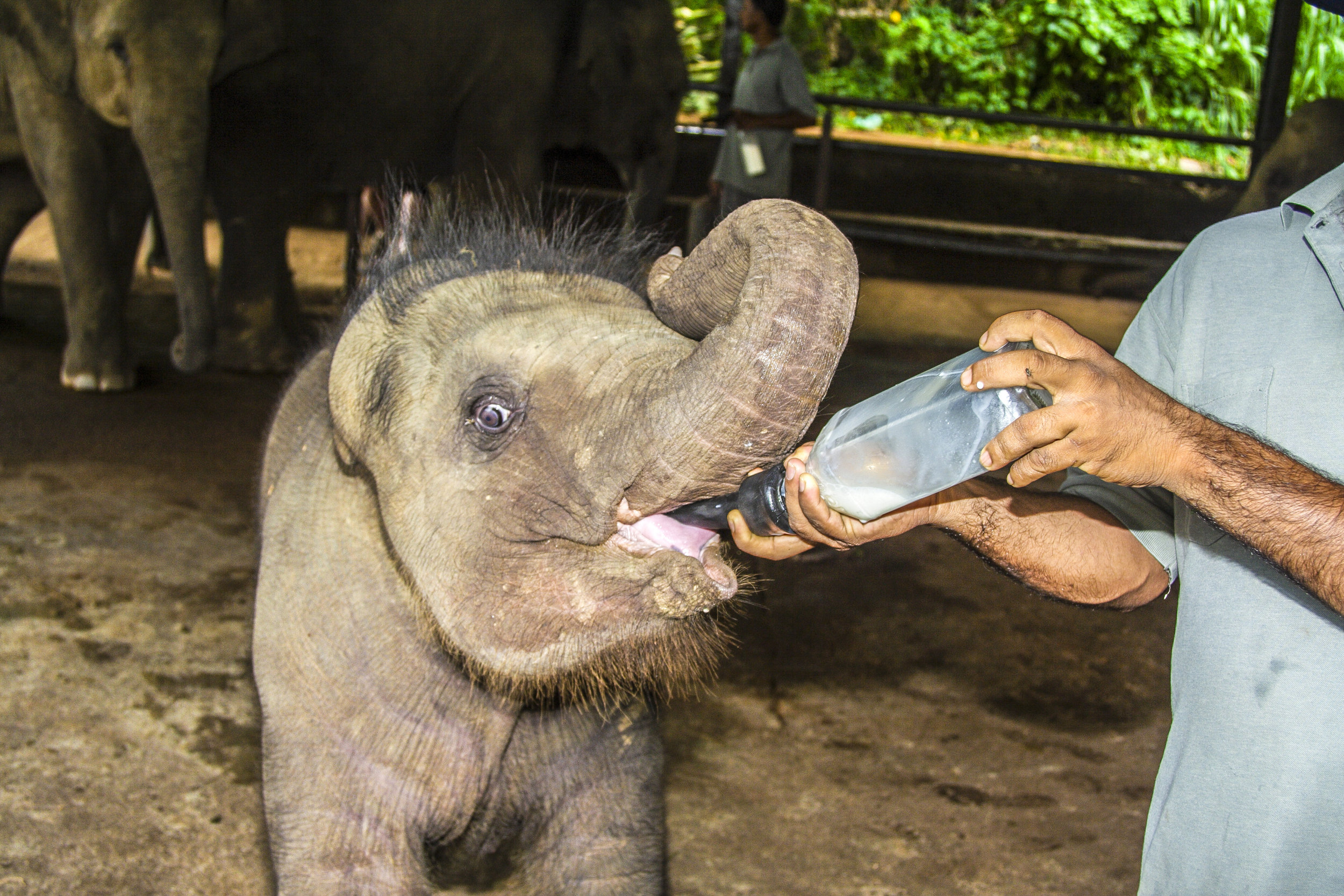 srilanka_bigstock-Elefant-Baby-Gets-Milk-To-Drin-90927356.jpg