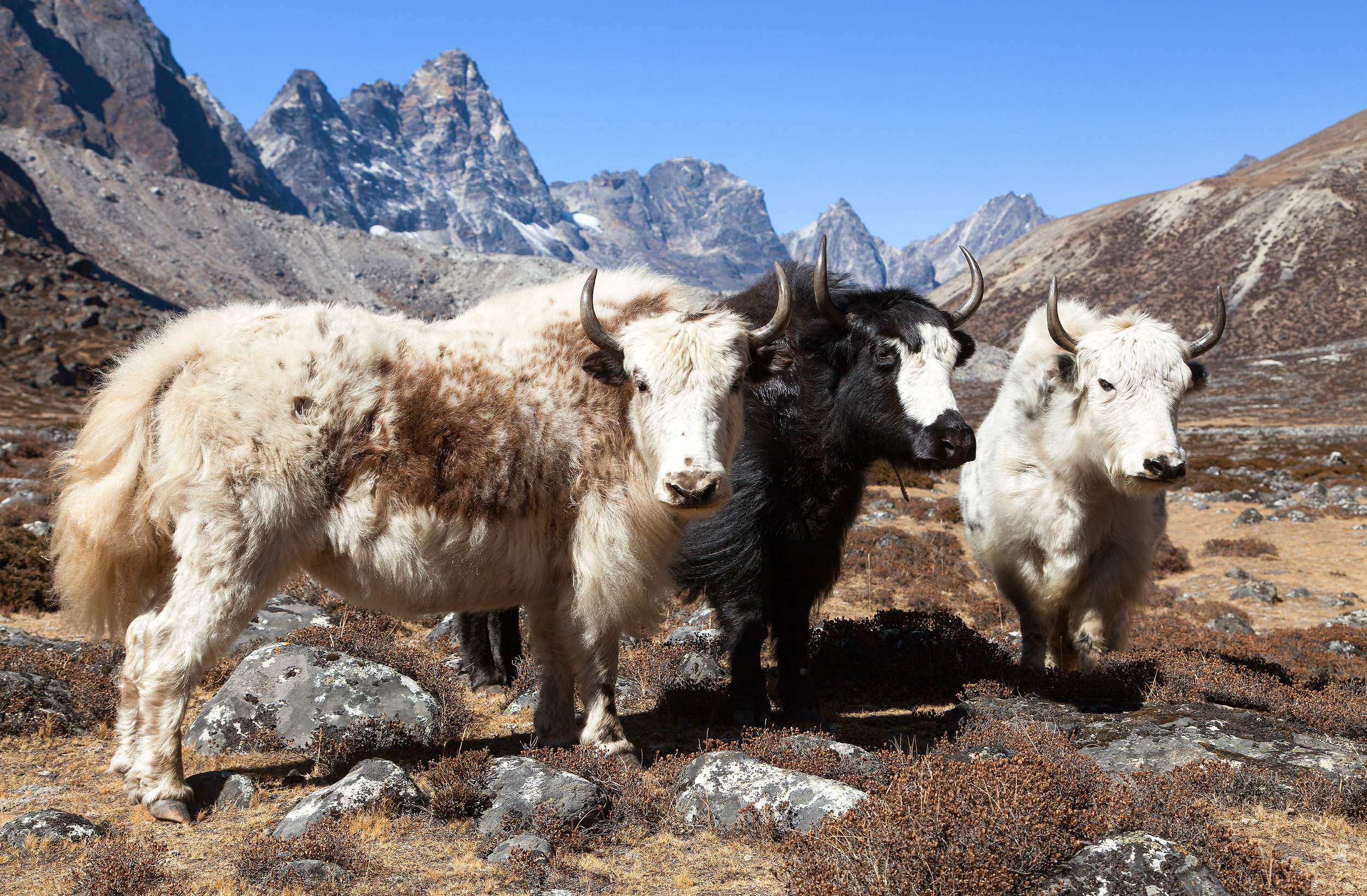 nepal_himalaya_bigstock-Yak-Group-Of-Thee-Yaks-On-The-237927508.jpg