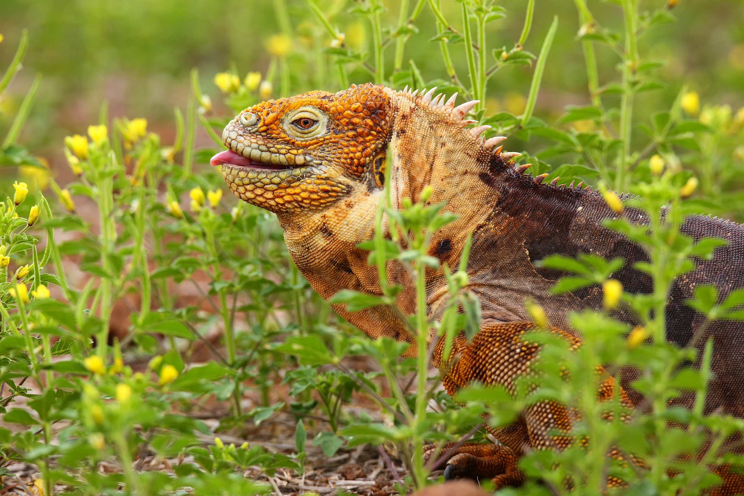 galapagos_NorthSeymour_bigstock-Galapagos-Land-Iguana-On-North-114035450.jpg