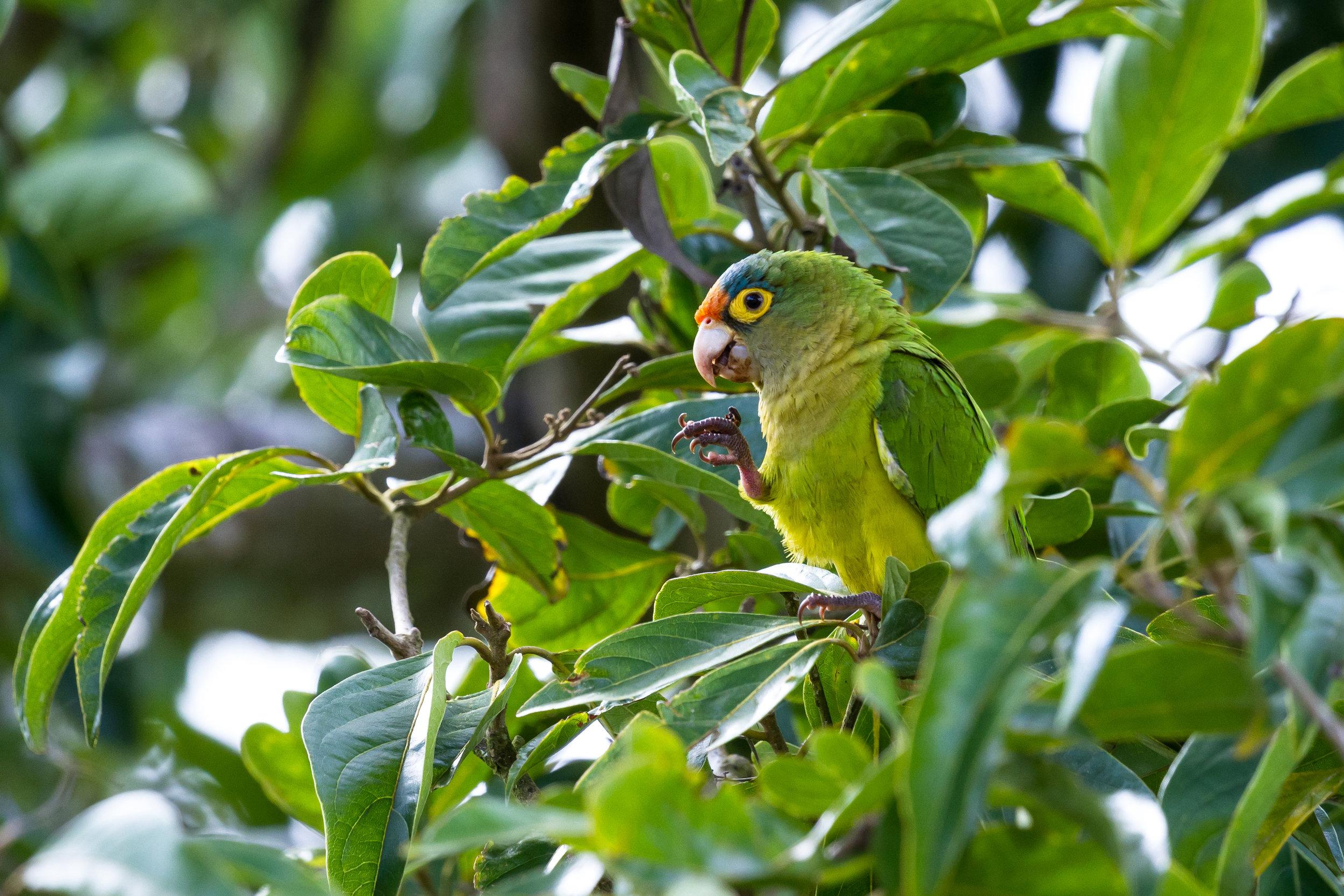 costarica_bigstock-Orange-fronted-Parakeet--Eups-211805380_flip.jpg