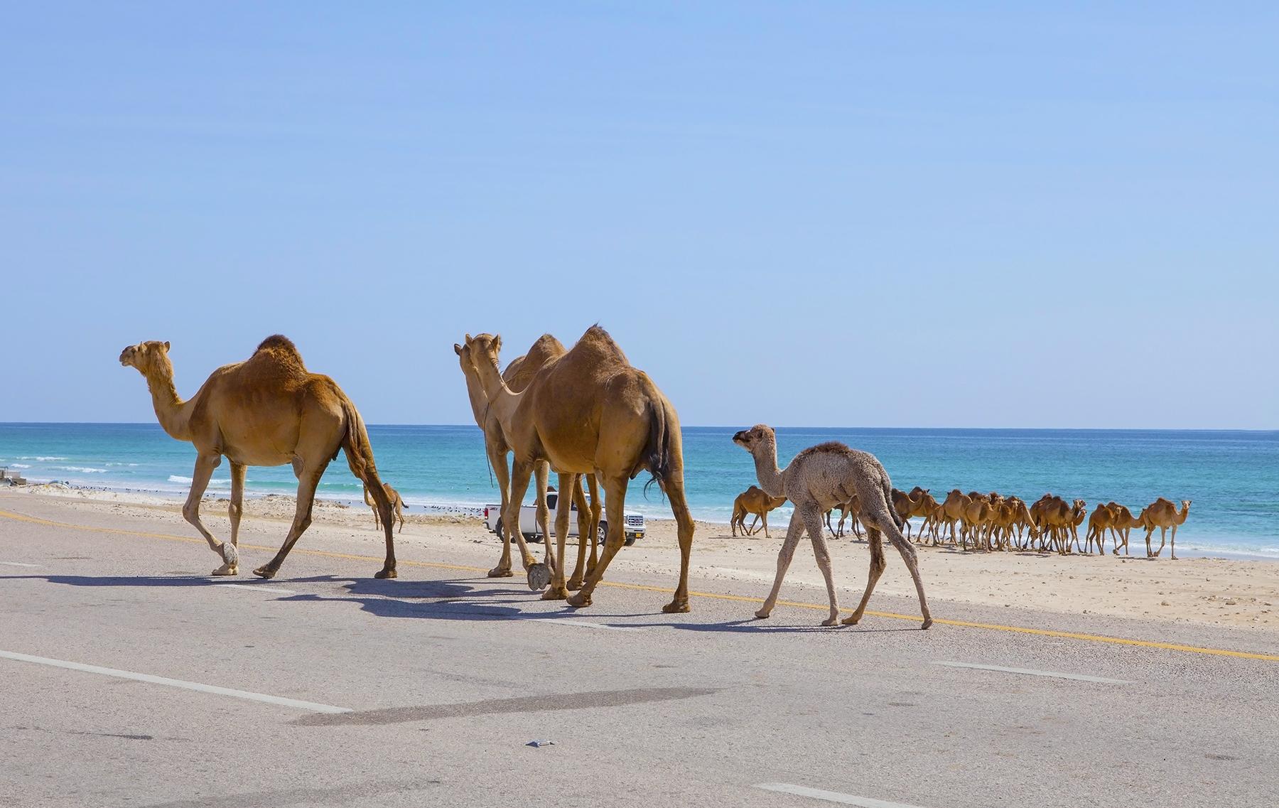 1800_oman_bigstock-Camels-116247146.jpg