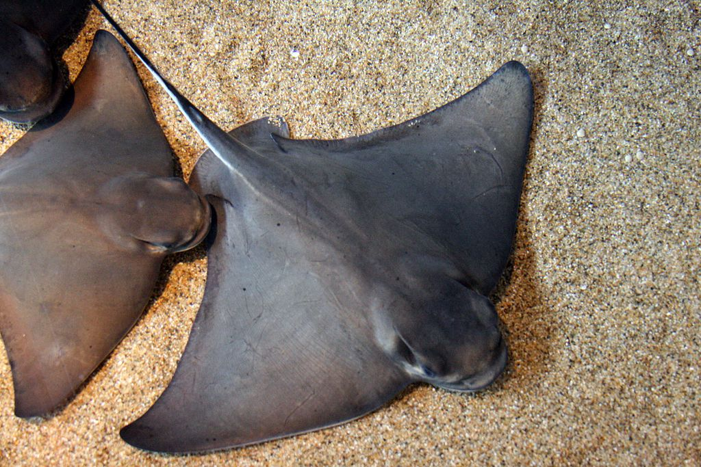 1024px-Myliobatis_californica_monterey_bay_aquarium.jpg