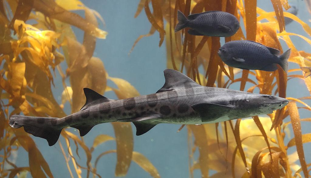 1024px-Leopard_shark_in_kelp.jpg