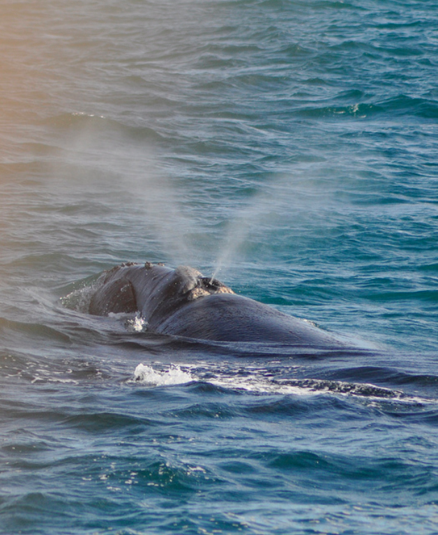 The distinctive V-shaped blow of a southern right whale.  2 whales – mother and calf, Date: 14/7/2010, Time: 12 pm, Place: Bay of Islands, Northland, Latitude: -35.21337, Longitude: 174.15665  Photo from Explore Images, Bay of Islands. Courtesy of the New Zealand Department of Conservation via  Flickr .