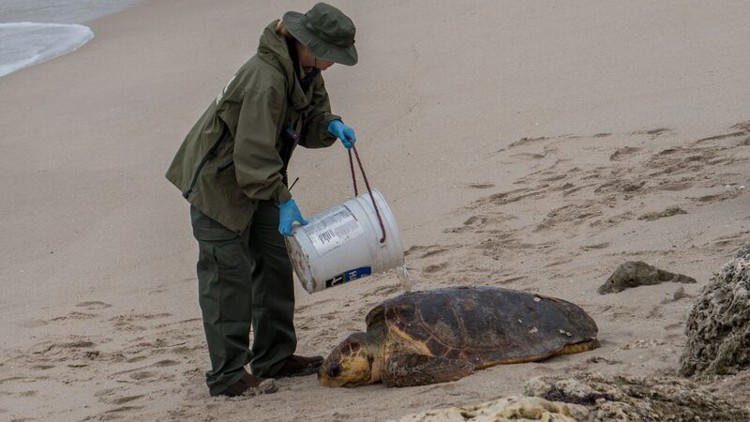 """June 2017:    Pregnant sea turtle found injured, rescued in Palm Beach    The turtle weighs nearly 200 pounds and was identified as a female with eggs, according to the Loggerhead MarineLife Center in Jupiter.  Smiley suffered a deep wound to her neck muscle making it difficult for her to lift her neck to breathe while swimming. She said it's not a typical turtle injury. The wound appears to be at least a few days old since they found maggots in it.  Smiley's caretakers are optimistic she'll survive, but can't say for sure if she will.  """"She's staying in the hospital to make sure she doesn't drown,"""" Clark said.  Ivy Yin, a photographer with Our Children's Earth Foundation was driving on South Ocean Boulevard and documented the turtle rescue.  Earlier this week, a  kogia whale beached herself  near Reef Road and Yin found it.  It's sea turtle nesting season and local organizations and residents make sure turtles have a safe beach to nest on by scheduling beach cleanups.  Bacteria  in the water,  storm-water runoff  and  trash  can harm sea life.  """"We have such pretty beaches,"""" Yin said. """"But we have serious issues to address.""""   Read more here."""