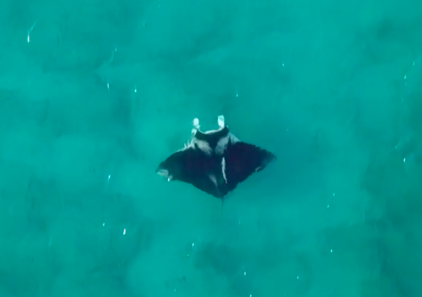 April 2018:    Possible new species of Manta Ray spotted off Palm Beach; Local wildlife experts excited about potential find    Local wildlife experts believe they may have discovered a new species of manta ray.  Video of the fish was recorded by Our Children's Earth Foundation photographer Ivy Yin off the coast of Palm Beach.  Yin immediately contacted Dr. Andrea Marshall, co-founder of the Marine Megafauna Foundation, about the find.  Marshall studies these animals here in south Florida and believes it could be a new species.  According to Dr. Marshall waters off the south Florida coast may serve as a nursery for this species.   Read more here.