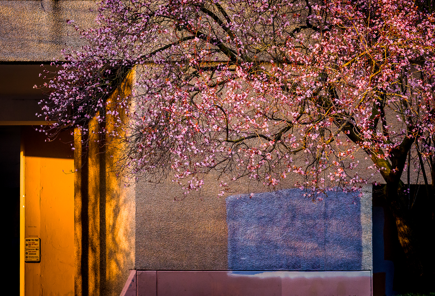 Urban Cherry Blossoms   Photo by Kevin Ehlers. Nikon d810, 85mm f/1.8, f5.6, 1/200