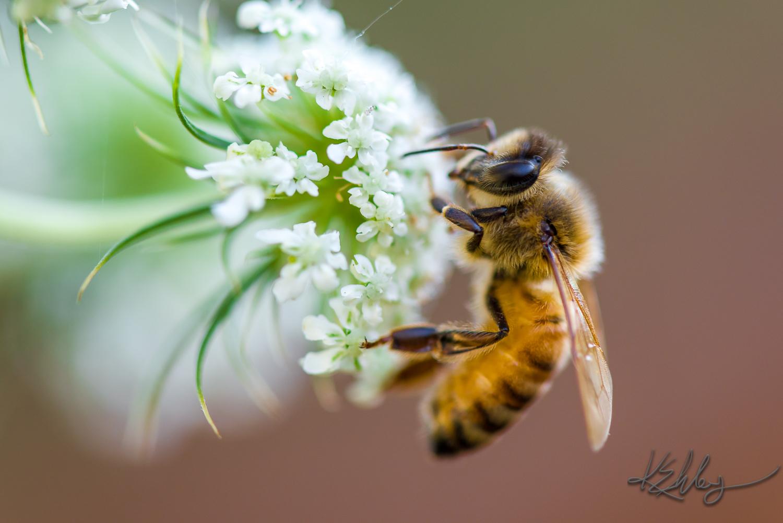 Honeybee   Photo by Kevin Ehlers (c). Nikon d810 + 105mm macro