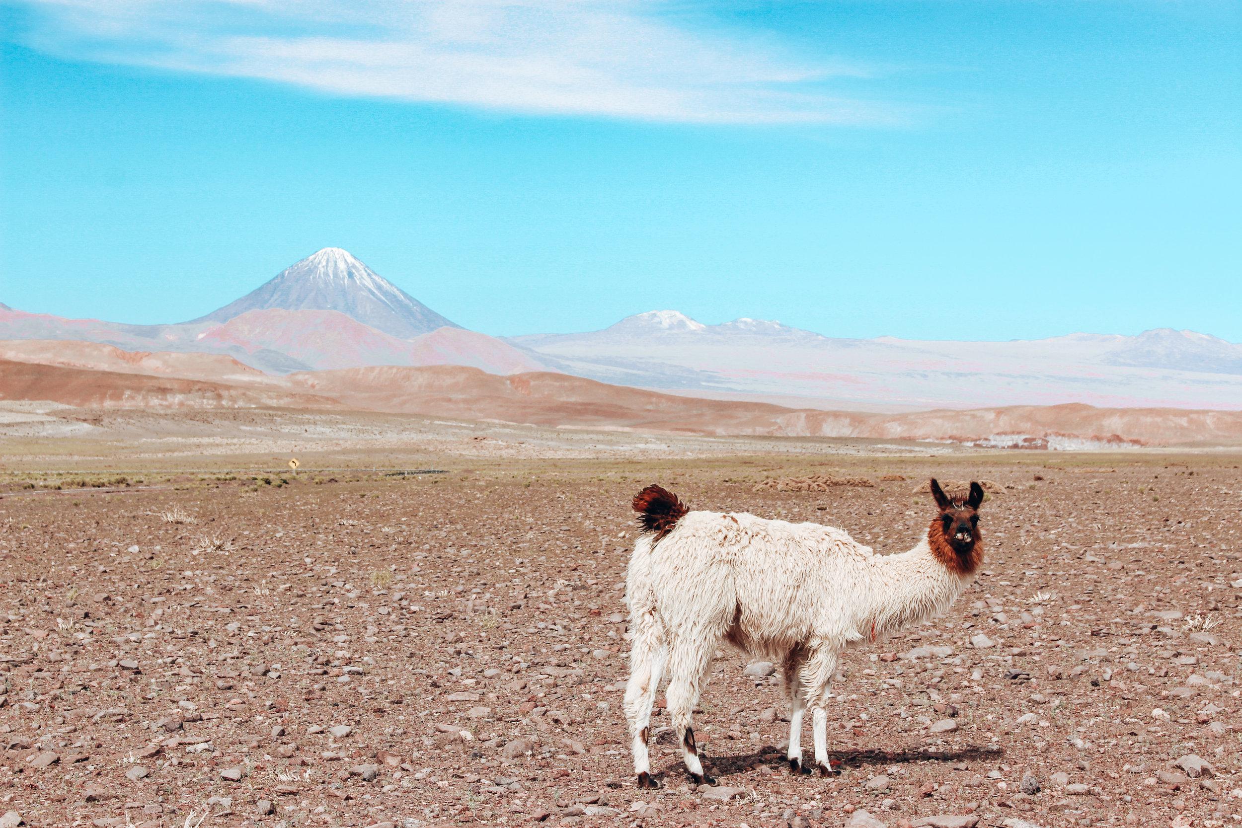 Llama in Chile