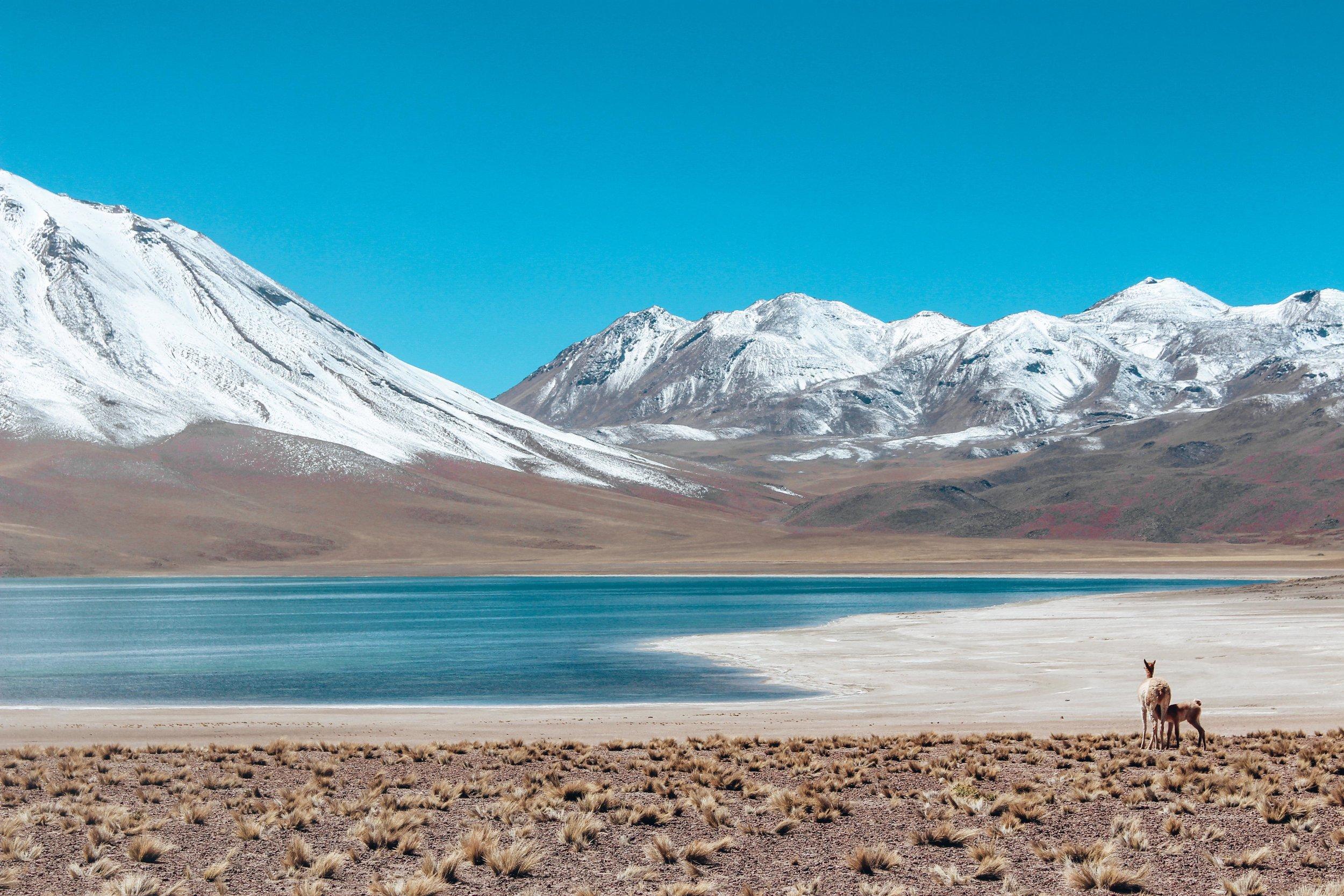 Laguna Miscanti Llamas