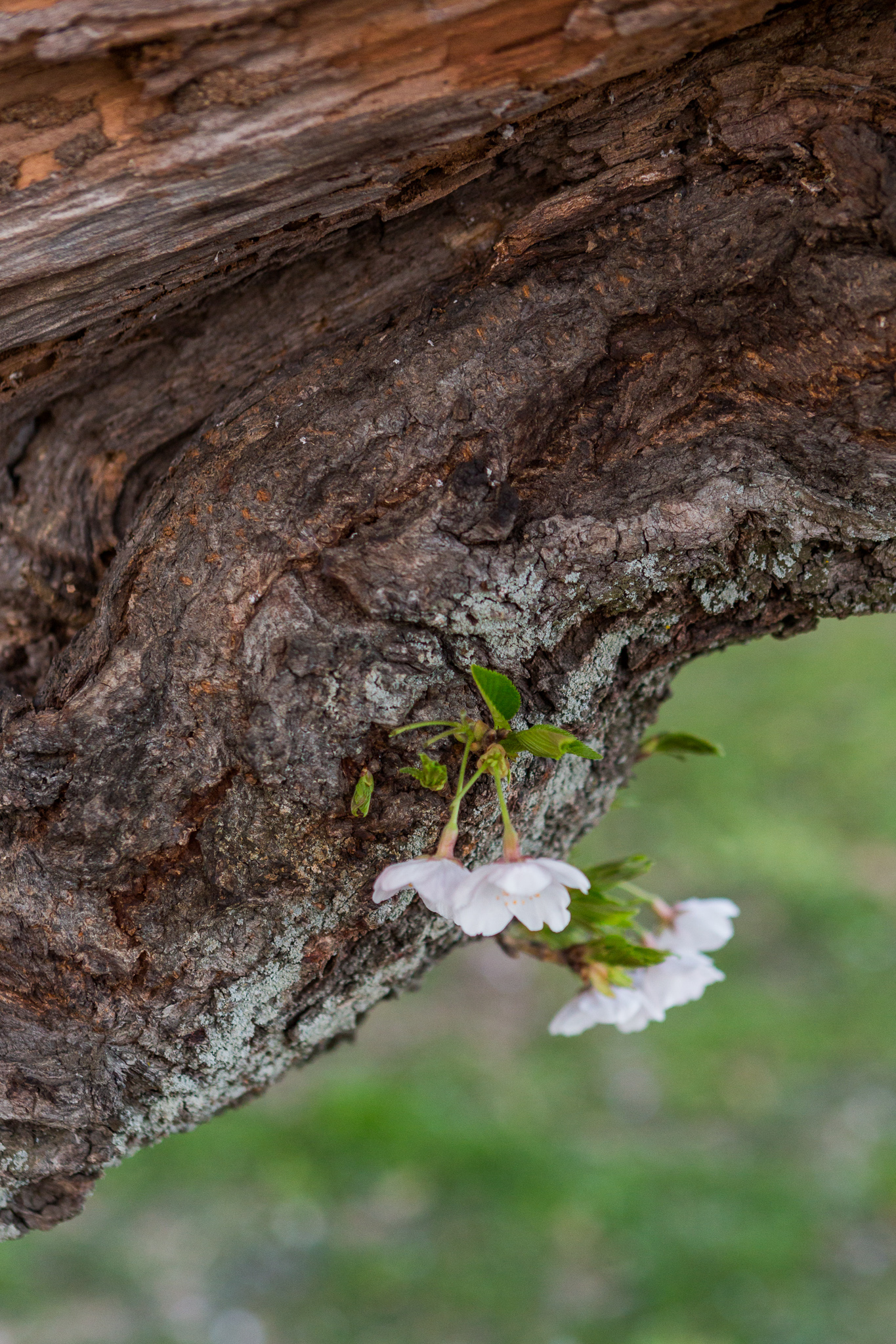 CherryBlossom-17.jpg