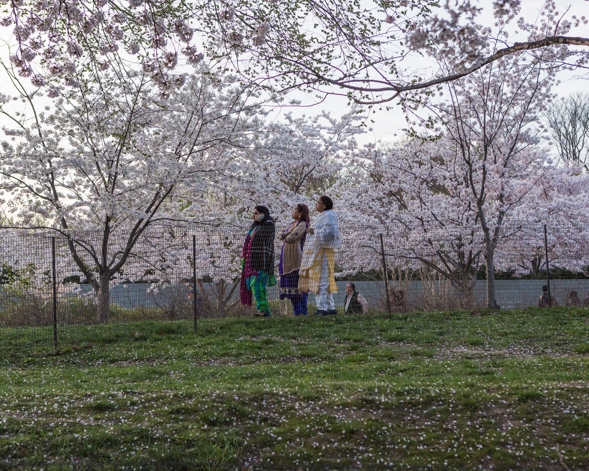 CherryBlossom-16.jpg