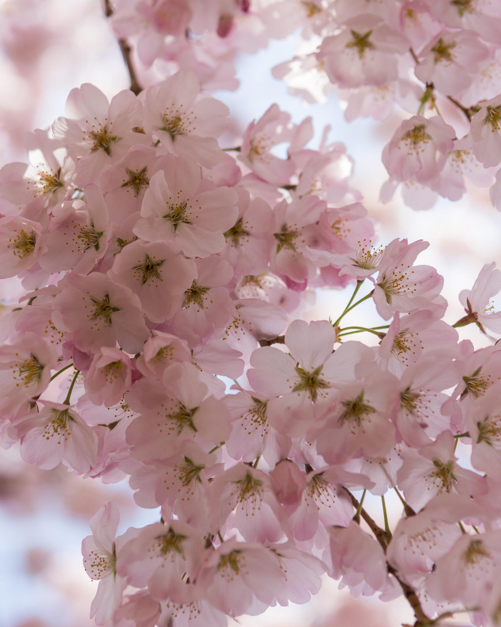 CherryBlossoms-4.jpg
